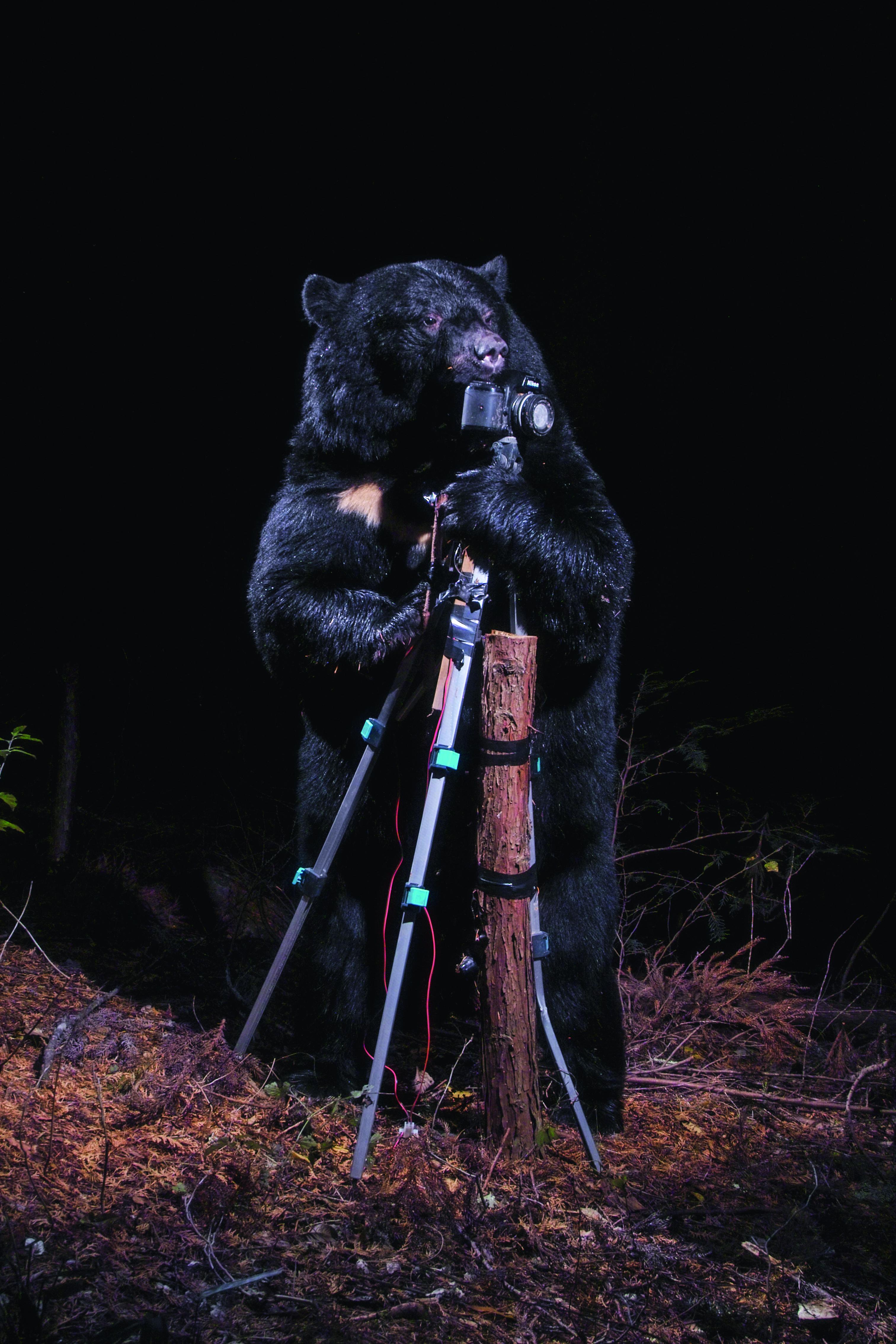 A black bear plays with the Camera, Nagano, 2006 - Crédit photo Manabu Miyazaki